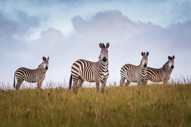 Crawshay Zebras, Malawi 00005