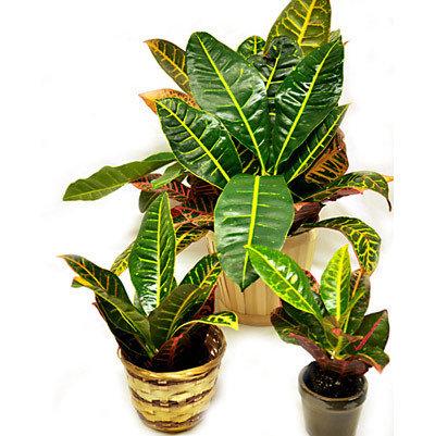 Codiaeum Croton 0002