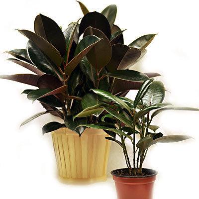 Ficus tst1