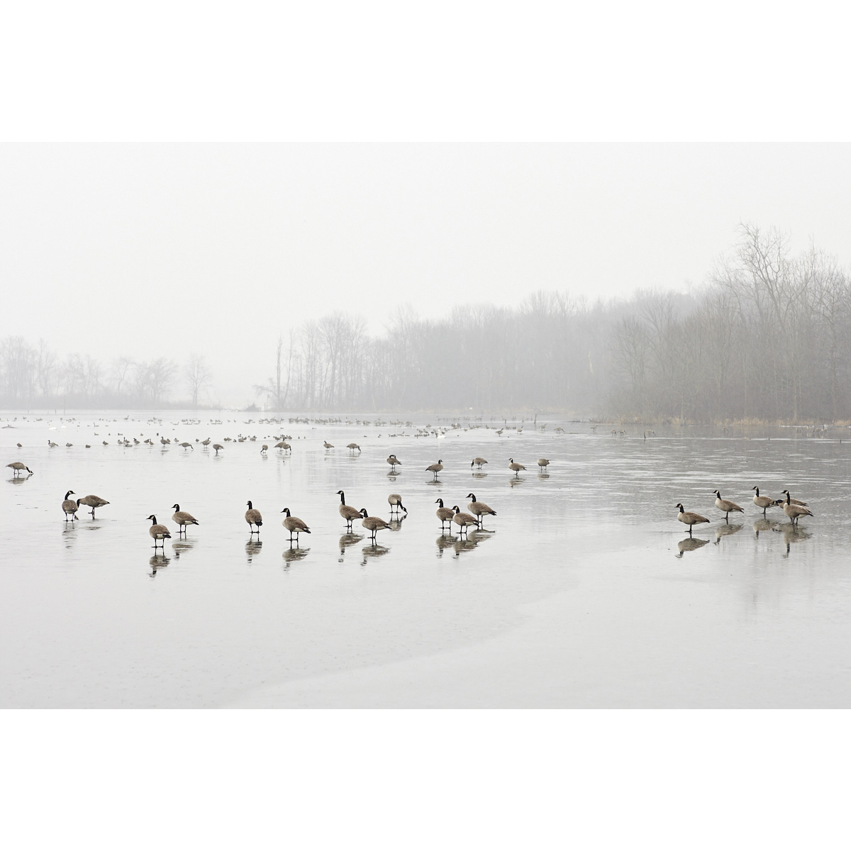 Untitled (Geese on Pond) 003