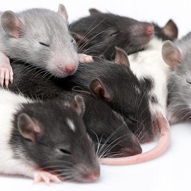 крысята рост фото внешним фотоэффектом производятся