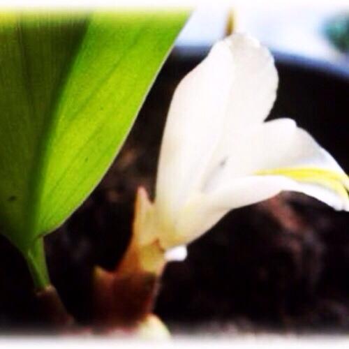 Paya Wan Dork Tong Flower