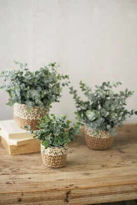 Eucalyptus Potted Plant-Small