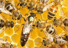 Bienenkönigin Buckfast®