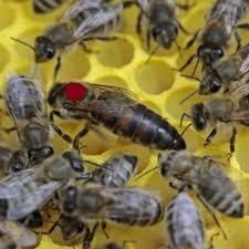 Bienenkönigin Carnica sofort und bis Ende Oktober lieferbar