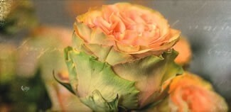 Rose in orange Faltkarte (7x14.5)