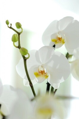 Orchidee weiss
