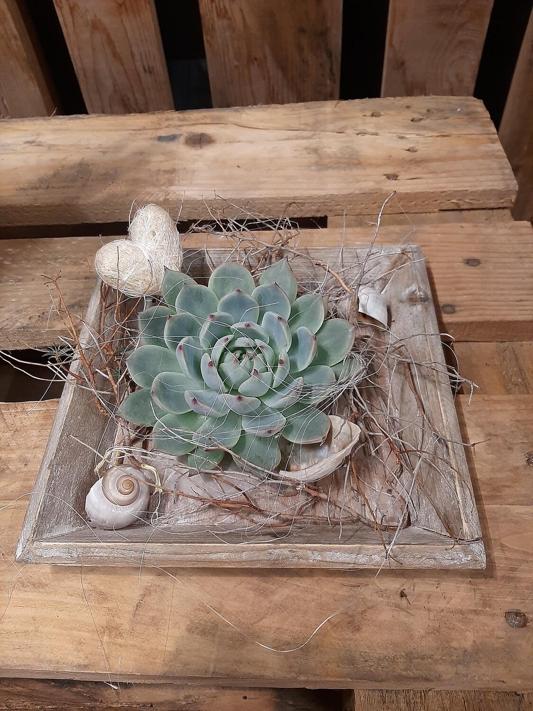 Echeveria auf Holzschale ausgarniert