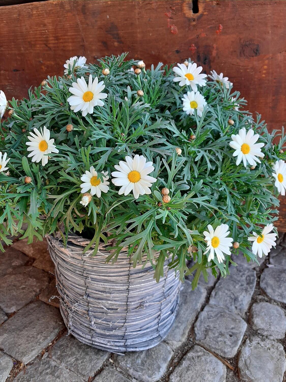 Margritenpflanze