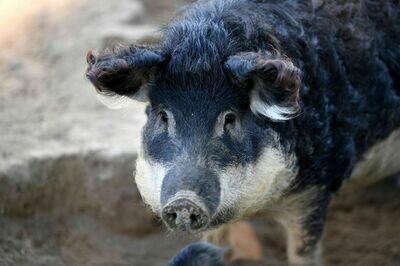 Pack de porc mangalitza Bio Suisse prêt pour le 20.05.2020