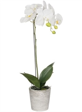 S potted orchid