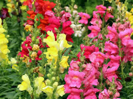 12 pack Snapdragons