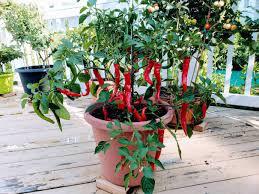 Hot Portugal Pepper