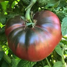 Tomato- Purple
