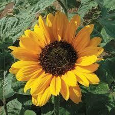 Soraya Sunflower Plant