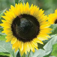 SunRich Lemon Sunflower Plant