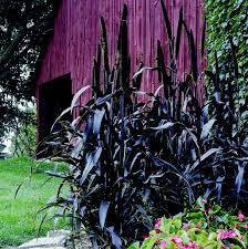 Black Millet grass