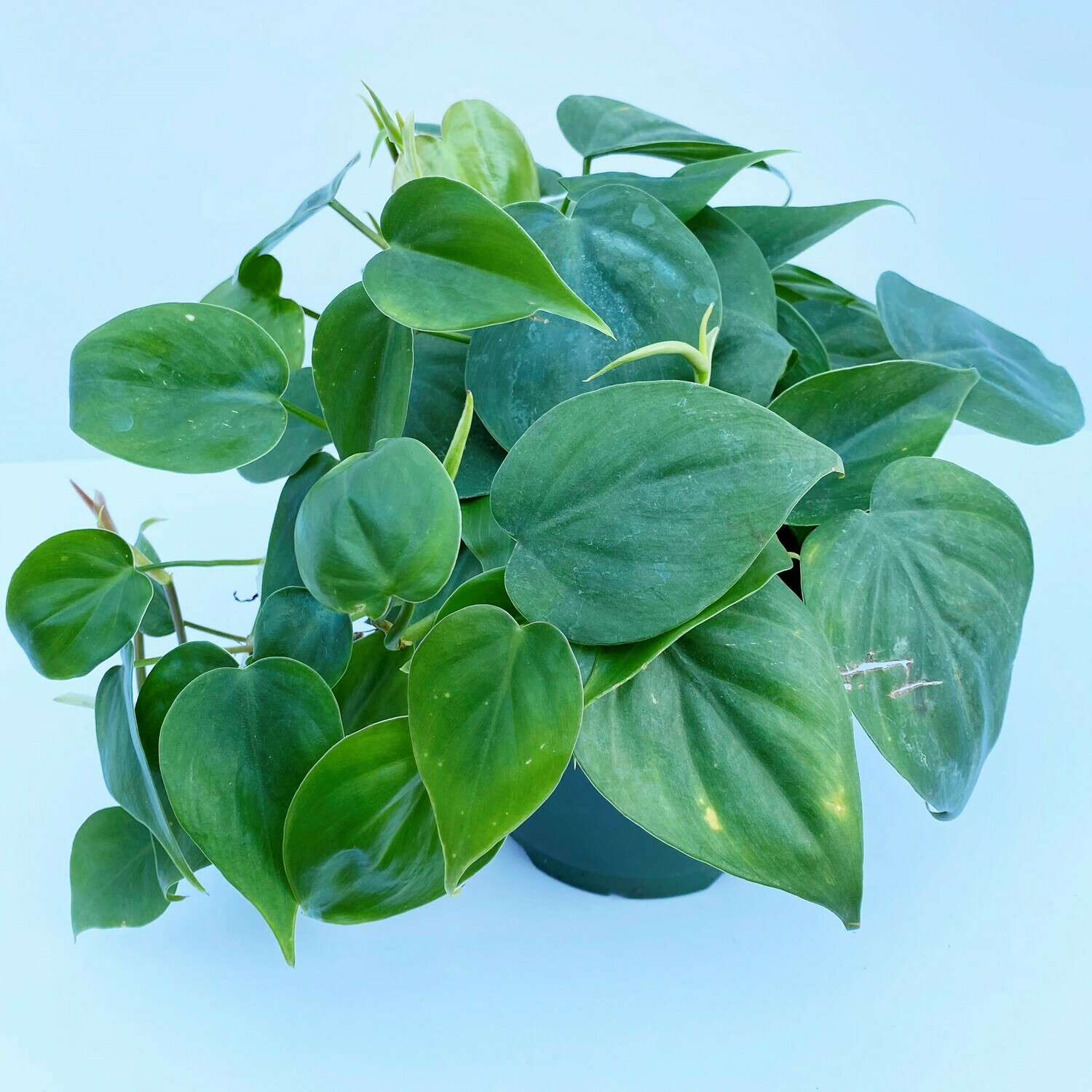 "Philodendron ""Heart Leaf"" 5"""