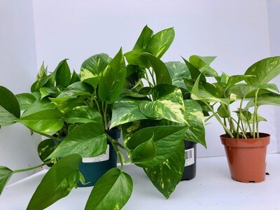 Golden Pothos 4
