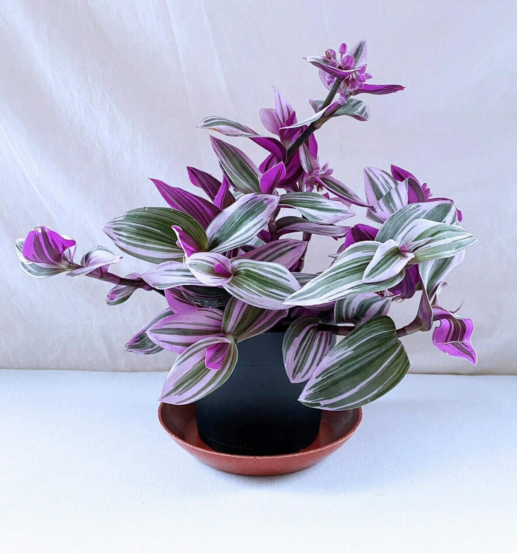 "Inch Plant 'Nanouk' 5"""