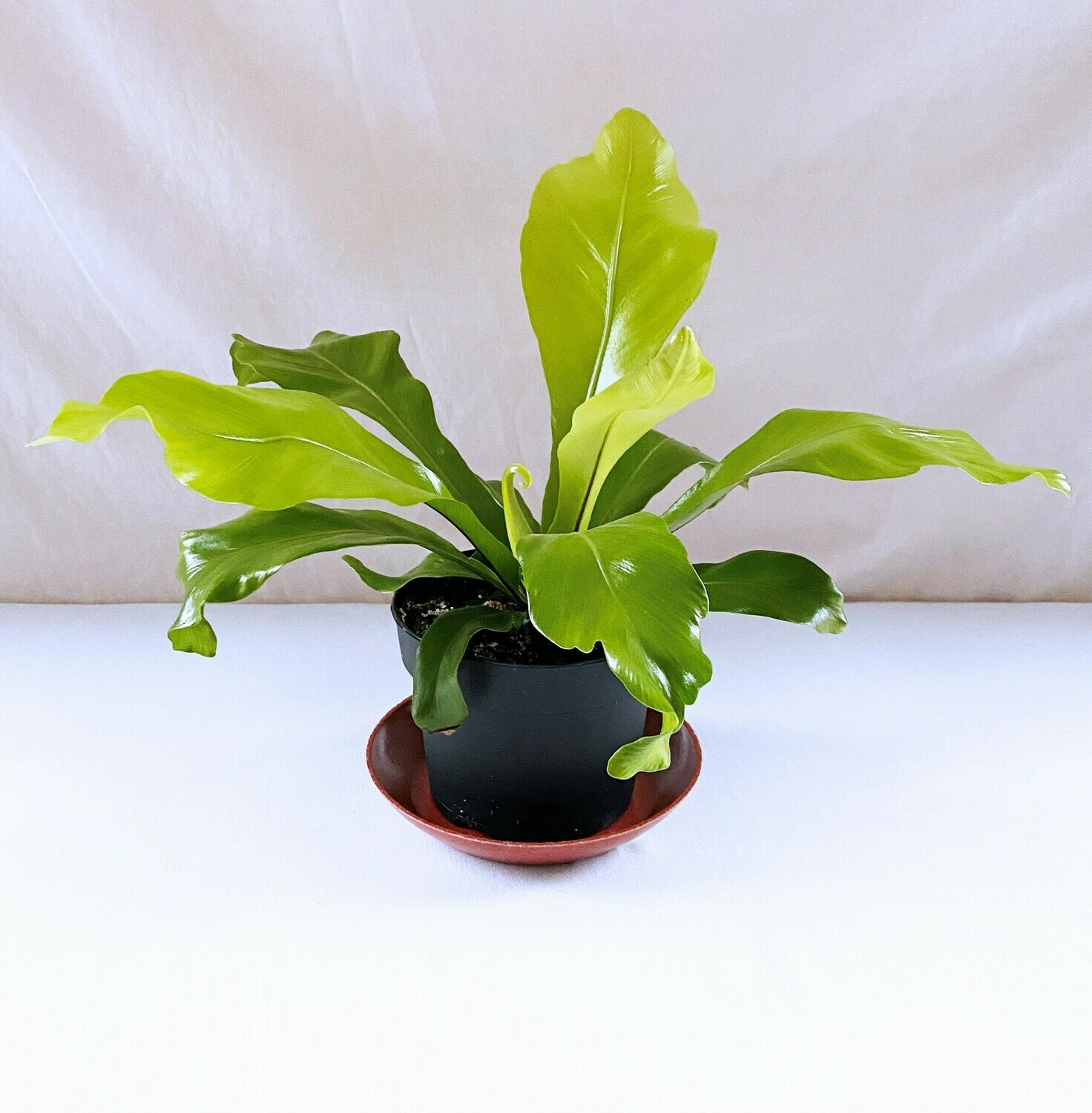 Bird's Nest Fern 5