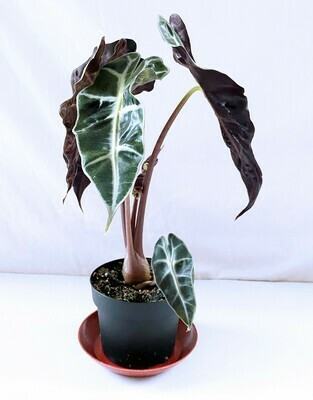Alocasia 'Polly' 5