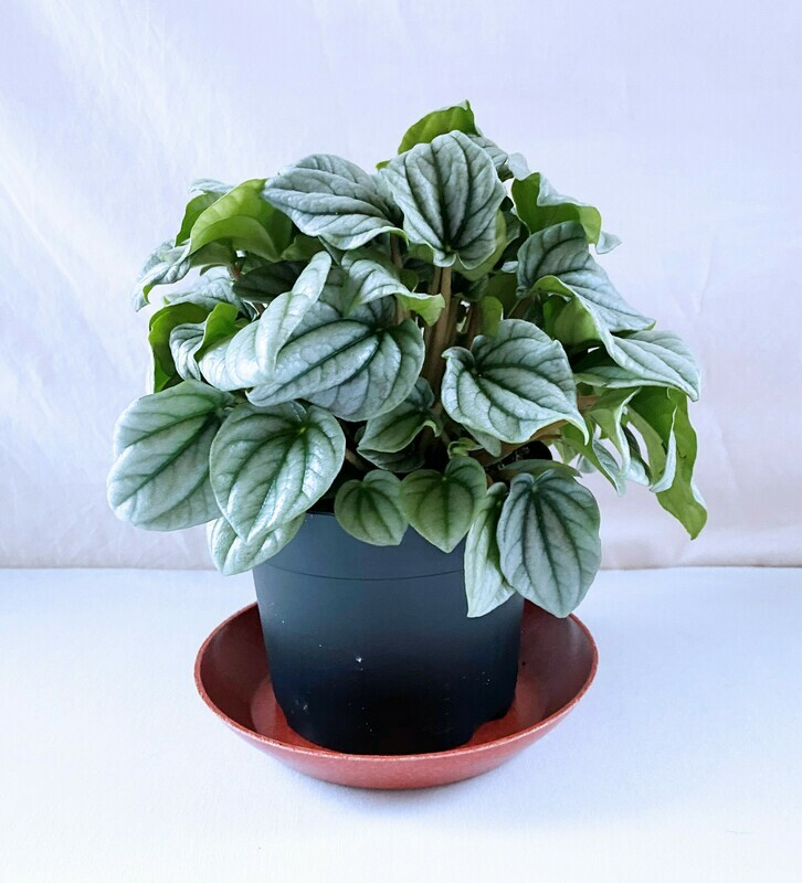Peperomia 'Frost' 5