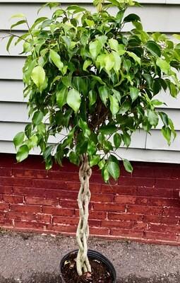 Ficus Benjamina Braid 10
