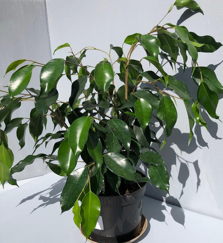 """Ficus Benjamina 6"""""""