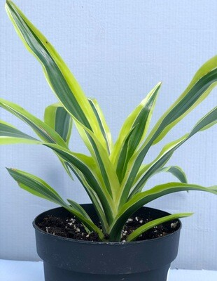 Dracaena 'Lemon Lime' 5