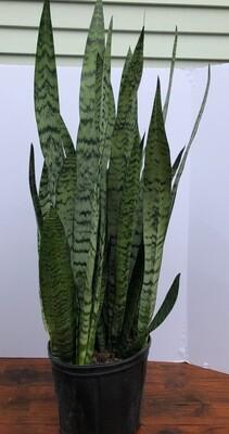 Sanseveria zeylanica 8.5