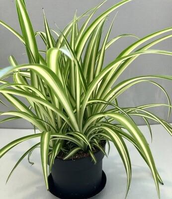 Spider Plant 'Ocean' 5
