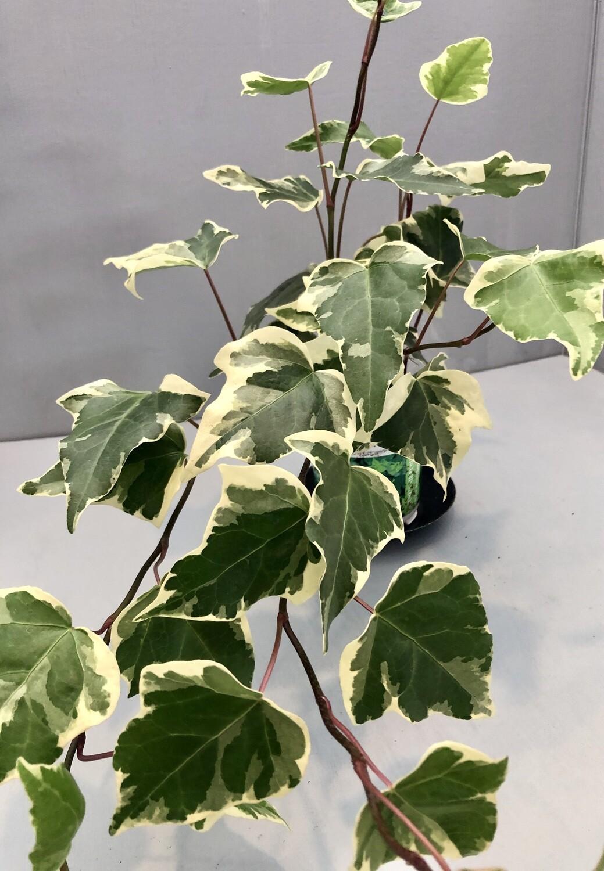 Ivy 'Marengo' 4