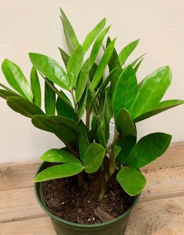 ZZ Plant 6