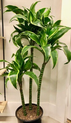 Dracaena 'Golden Coast' Cane 10""