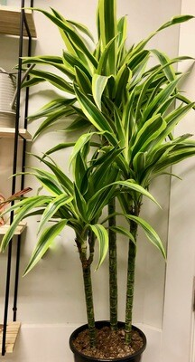 Dracaena 'Lemon Lime' Cane 10""