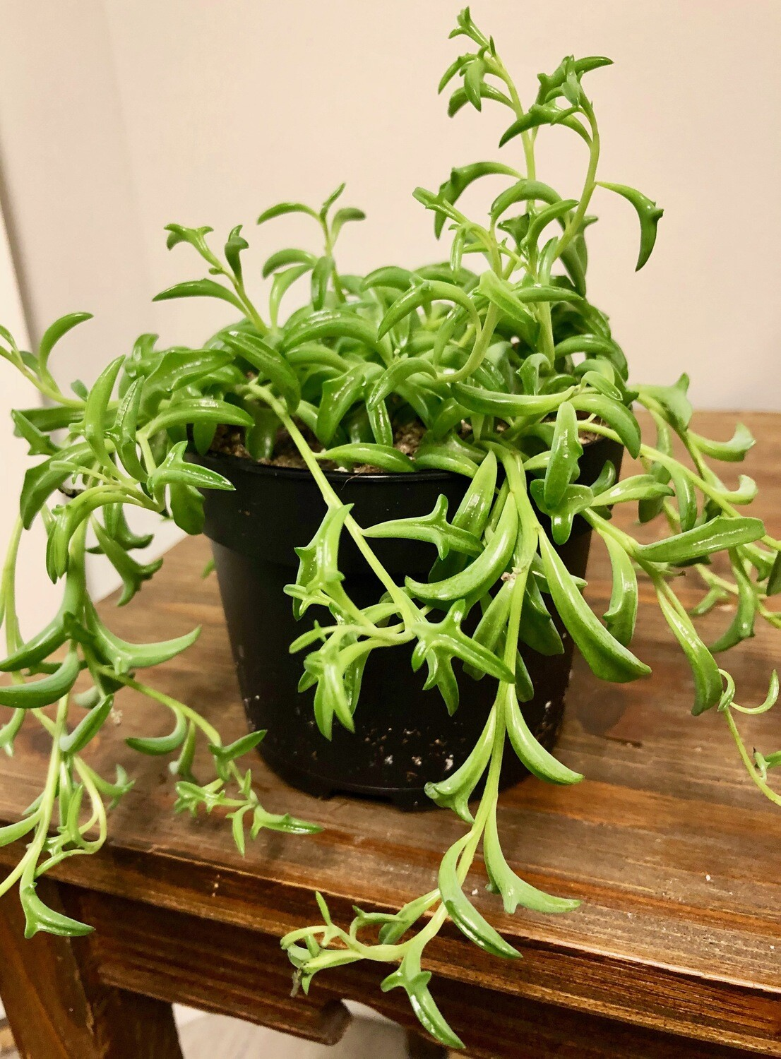 Senecio 'String of Dolphins' 5""