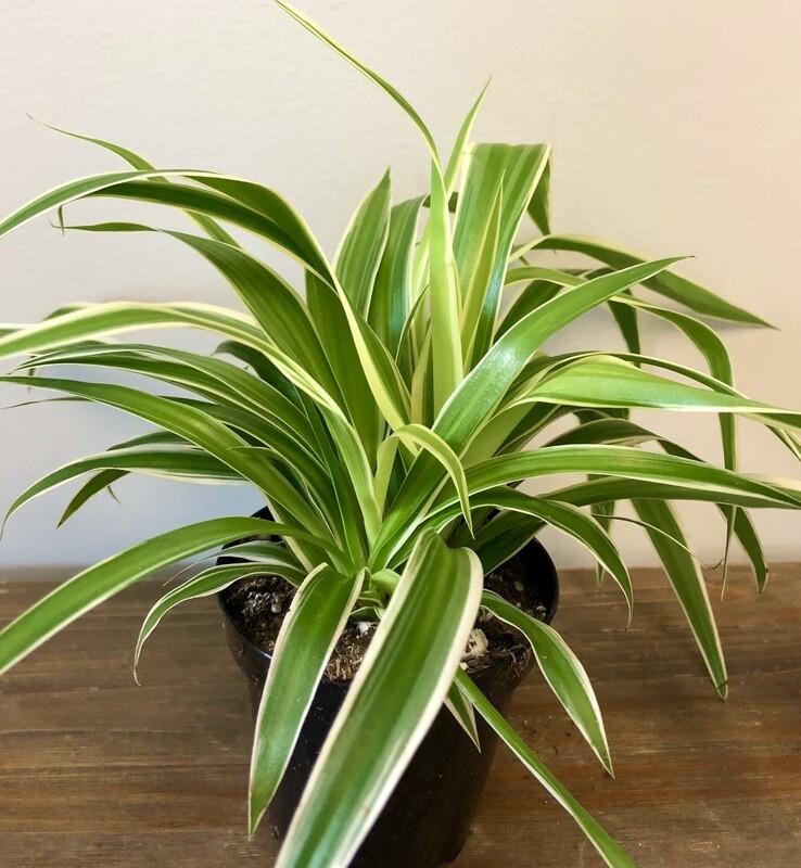 Spider Plant 4