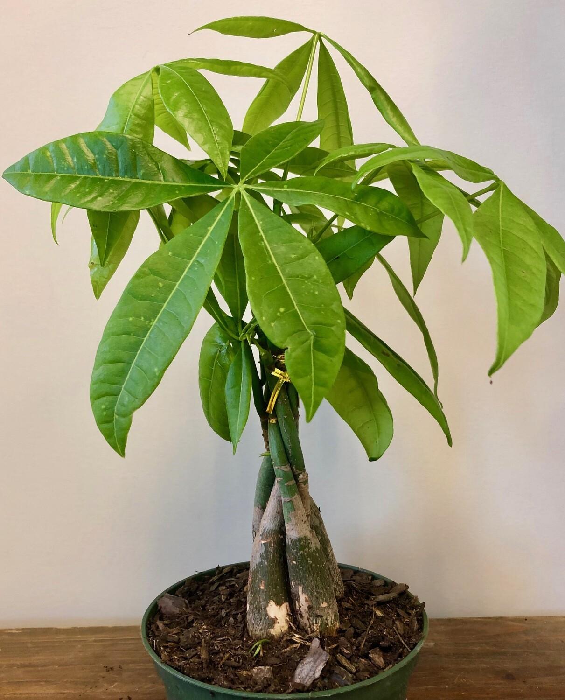 """Money Tree, Pachira 6"""""""