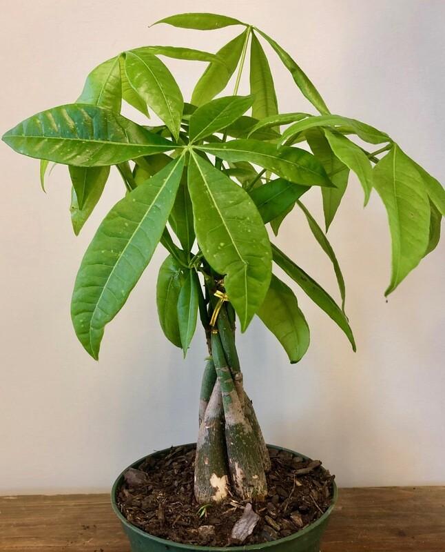 Money Tree, Pachira 6