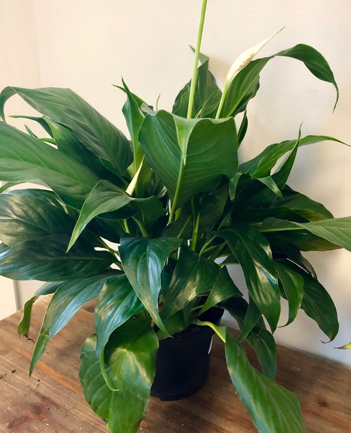 Peace Lily 6