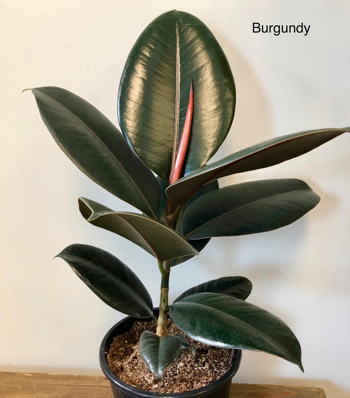 """Ficus elastica 7"""""""
