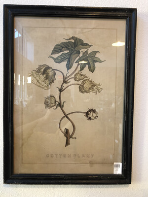 Cotton Plant Framed Prints