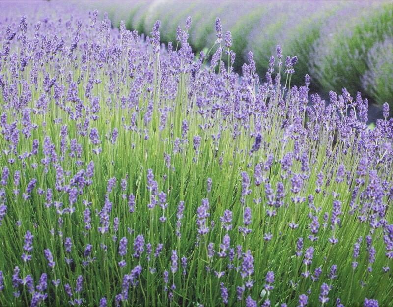 """""""Lavender Fields"""""""