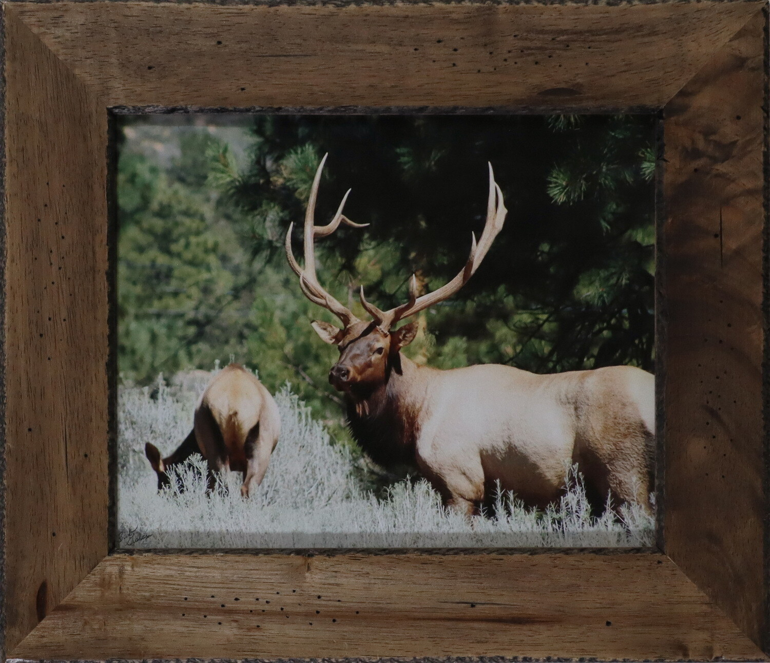 """""""Bull Elk and Cow"""""""