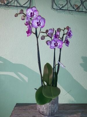 Orchidee gross mit Übertopf