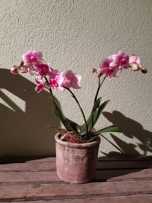 Orchidee mittelgross mit Übertopf