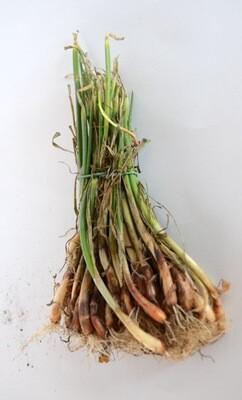 Onion Transplants