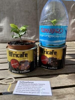 Kaffeepflanze aus Original Kaffeebohnen aus Utengule, Südtanzania.