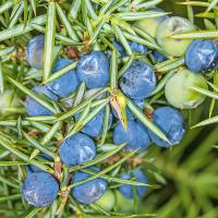 Juniper Berry Balsamic Vinegar – Seasonal*